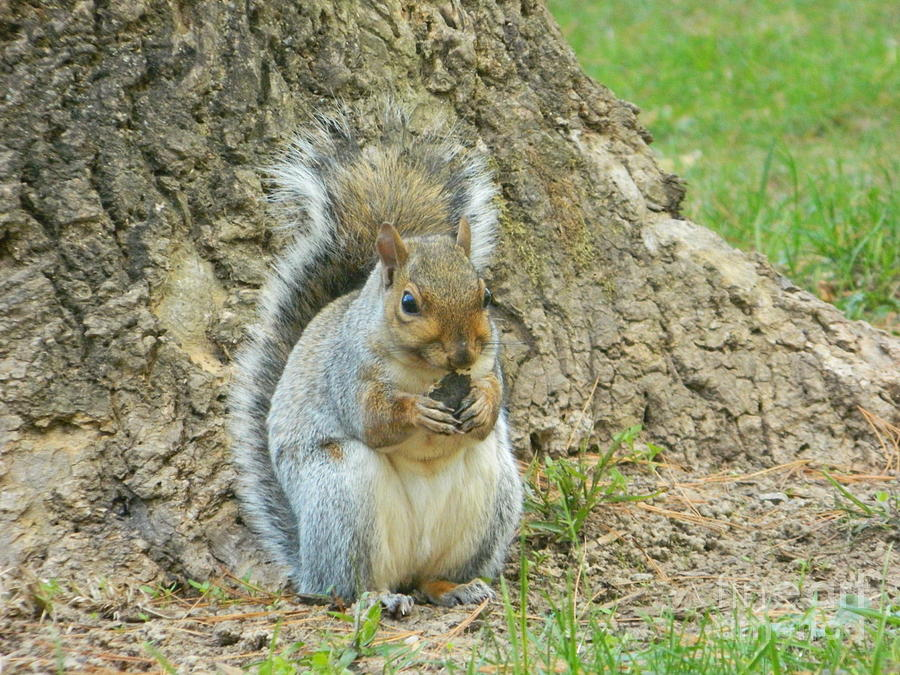 Squirrel Photograph - Nut Break For Chubber by Emmy Vickers