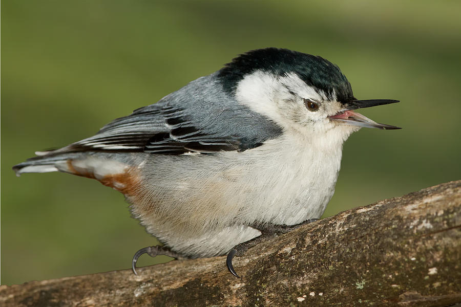 Birds Photograph - Nuthatch by Bill Wakeley