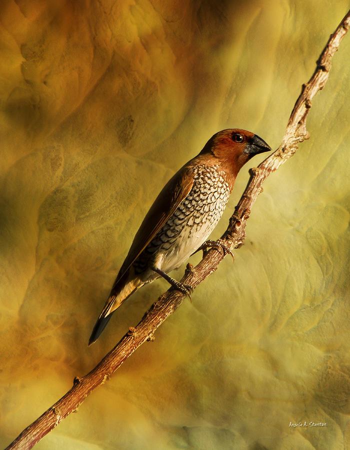 Spice Finch Photograph - Nutmeg Mannikin Aka Spice Finch by Angela A Stanton