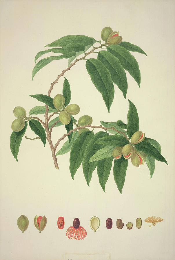 Nutmeg Photograph - Nutmeg Plant by Natural History Museum, London/science Photo Library