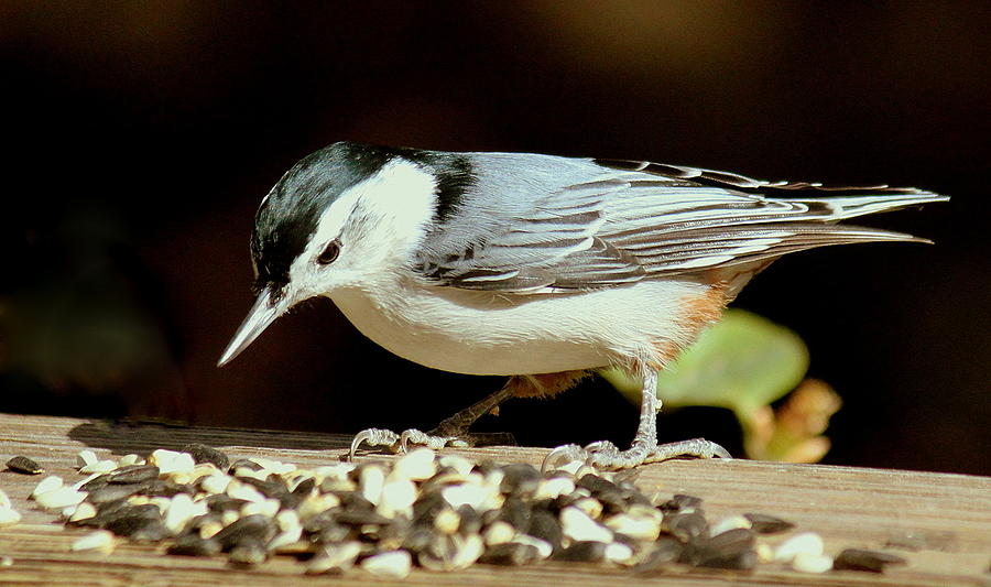 Bird Photograph - Nuts For The Nuthatch by Rosanne Jordan