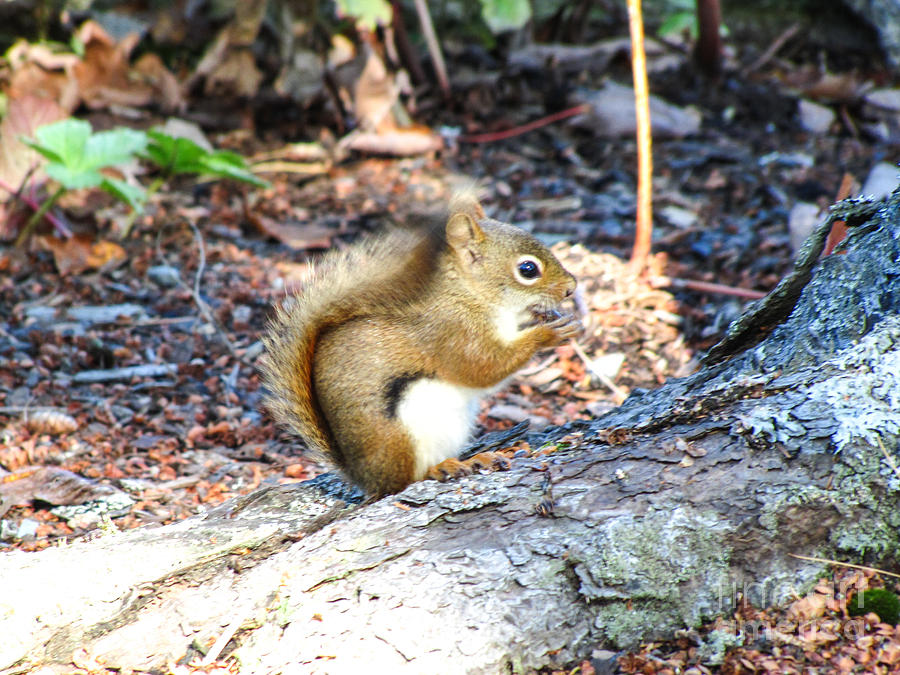 Nutty For Maine Photograph