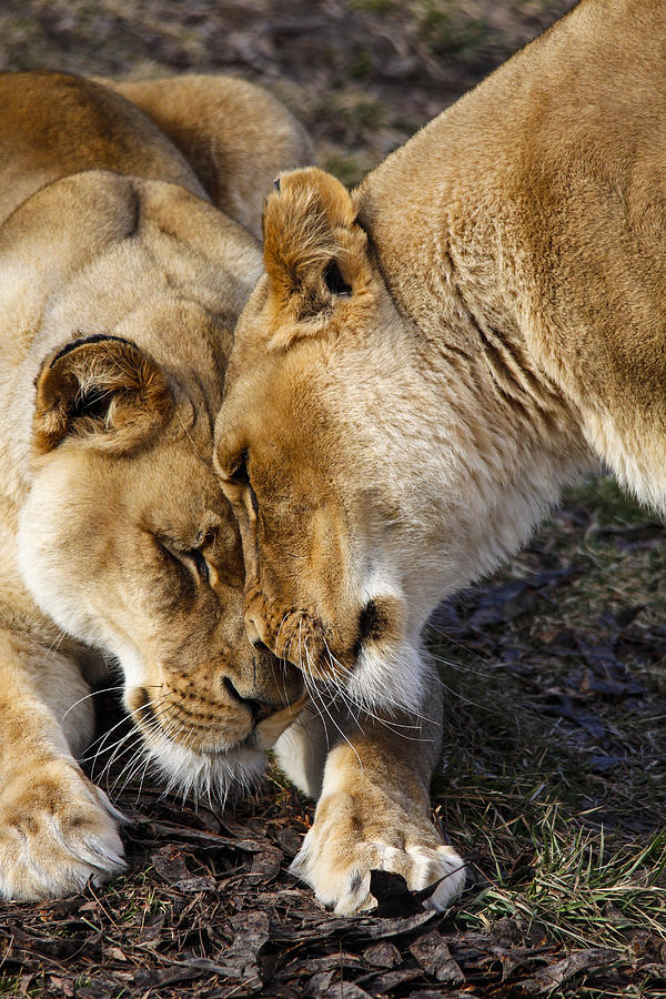 Lions Photograph - Nuzzling Lions by Jill Bell