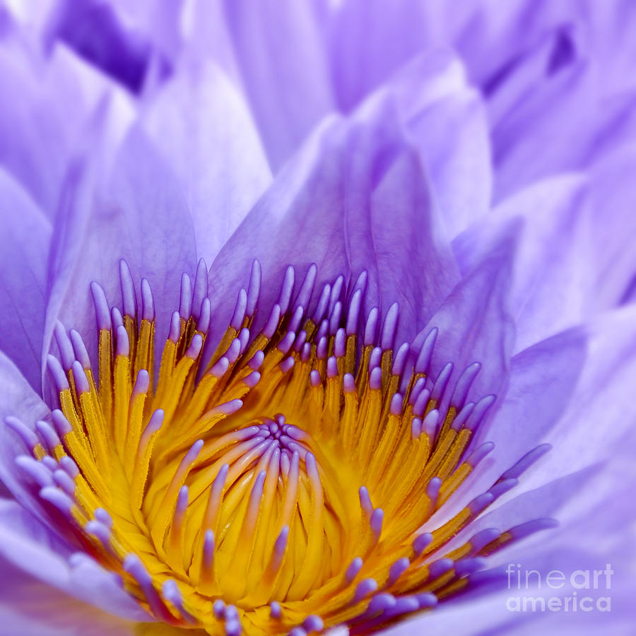 Water Lily Photograph - Nymphea by Delphimages Photo Creations