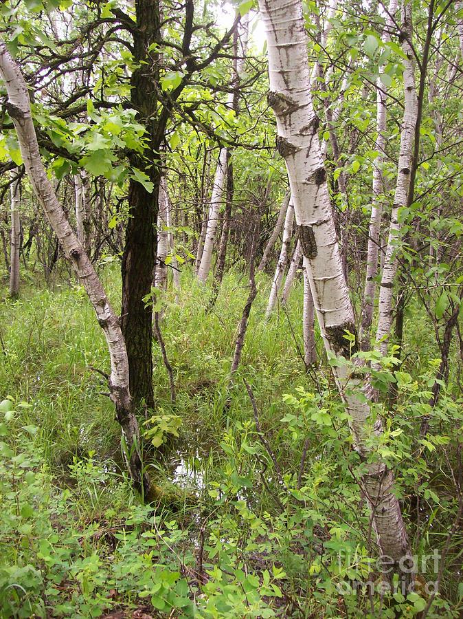 Oak Photograph - Oak And Birch by Mary Mikawoz
