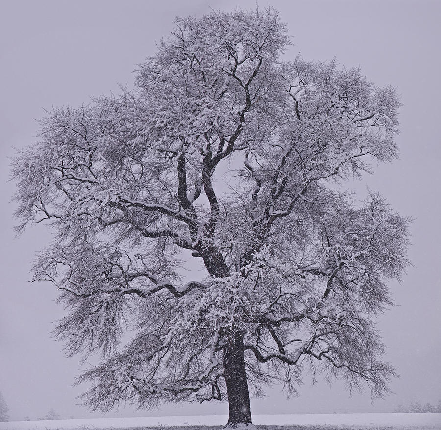 Giant Photograph - Oak In Snow by Don Perino