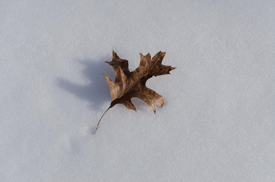 Winter Photograph - Oak Leaf by Diana Boyd