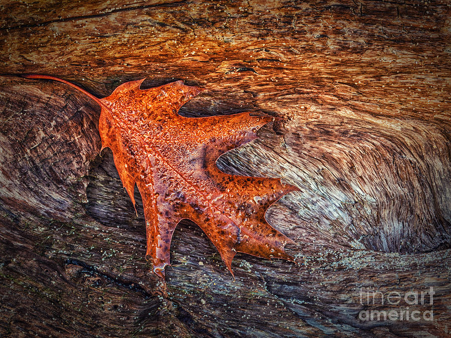 Tree Photograph - Oak Leaf by Todd Bielby