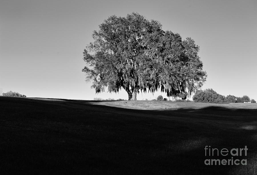 Oak Majestic Tree Live in Sunlight by Wayne Nielsen