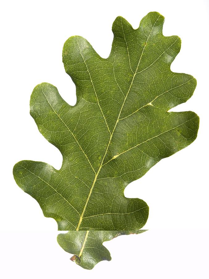 Close-up Photograph - Oak (quercus Robur) Leaf by Science Photo Library