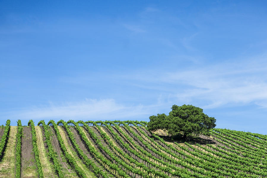 Oak Tree Amid The Grapevines  by Priya Ghose