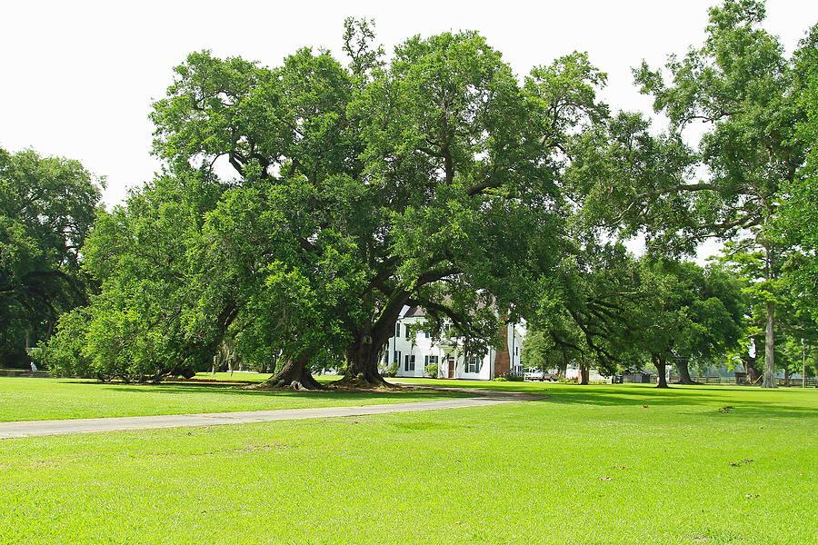 Oak Tree Photograph - Oak Tree In Front Antibelum Home by Ronald Olivier