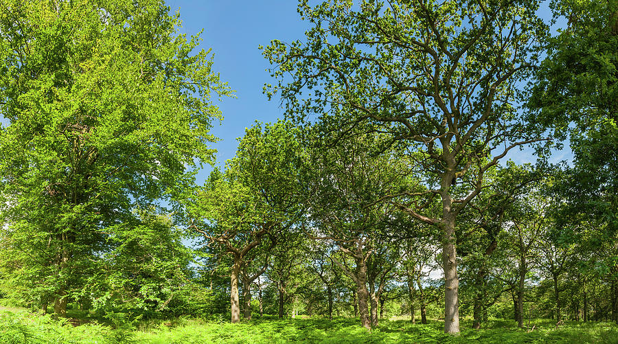 Oak Trees In Idyllic Summer Woodland Photograph by Fotovoyager