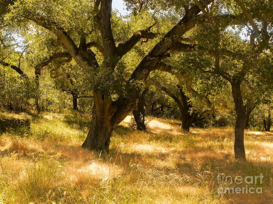 Oaks by Patricia  Tierney