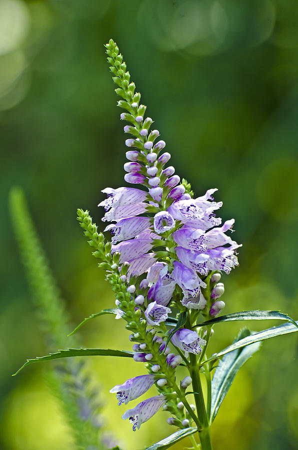 Obedient Plant by Pristine Images