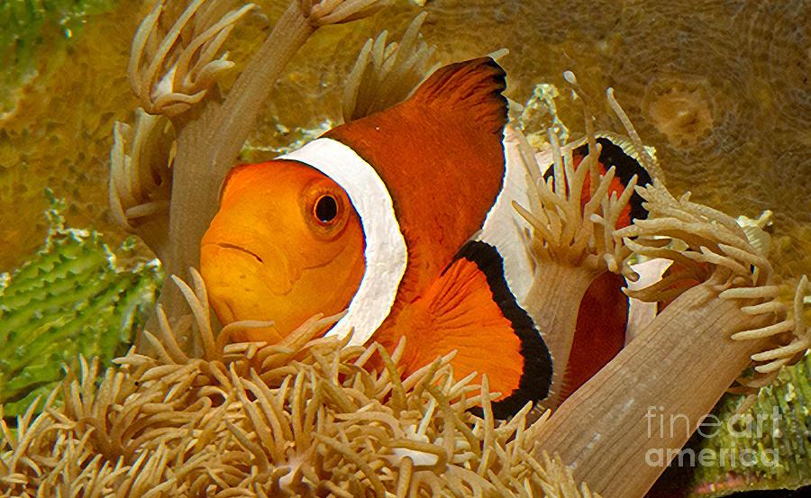 Ocellaris Clown Fish Photograph - Ocellaris Clown Fish No 1 by Jerry Fornarotto