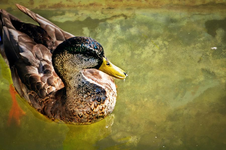 Duck Photograph - October Duck by Marty Koch