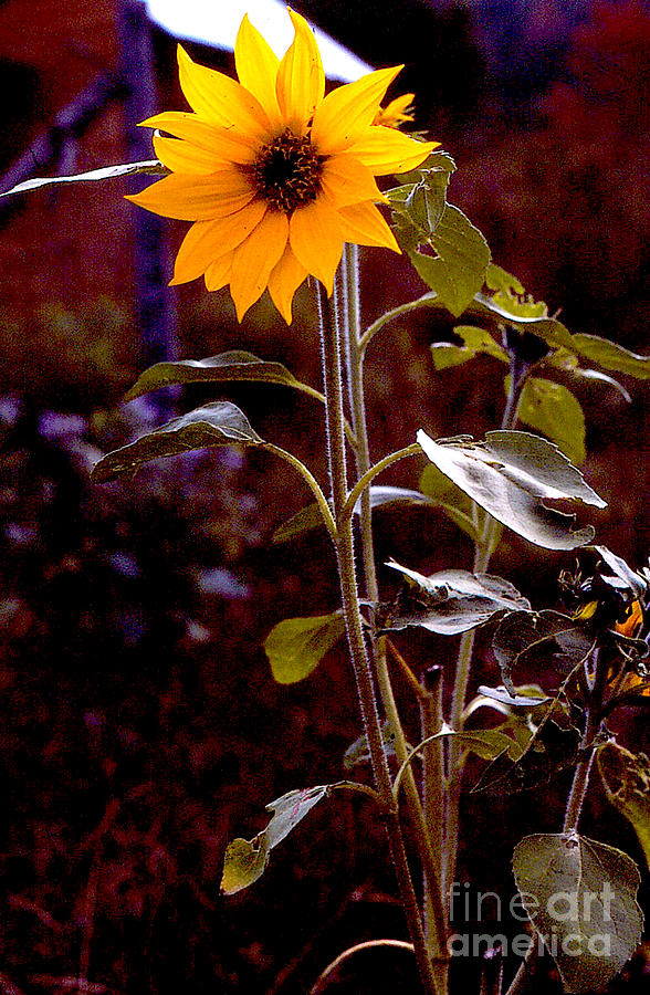 Flowers Photograph - Ode To Sunflowers by Patricia Keller