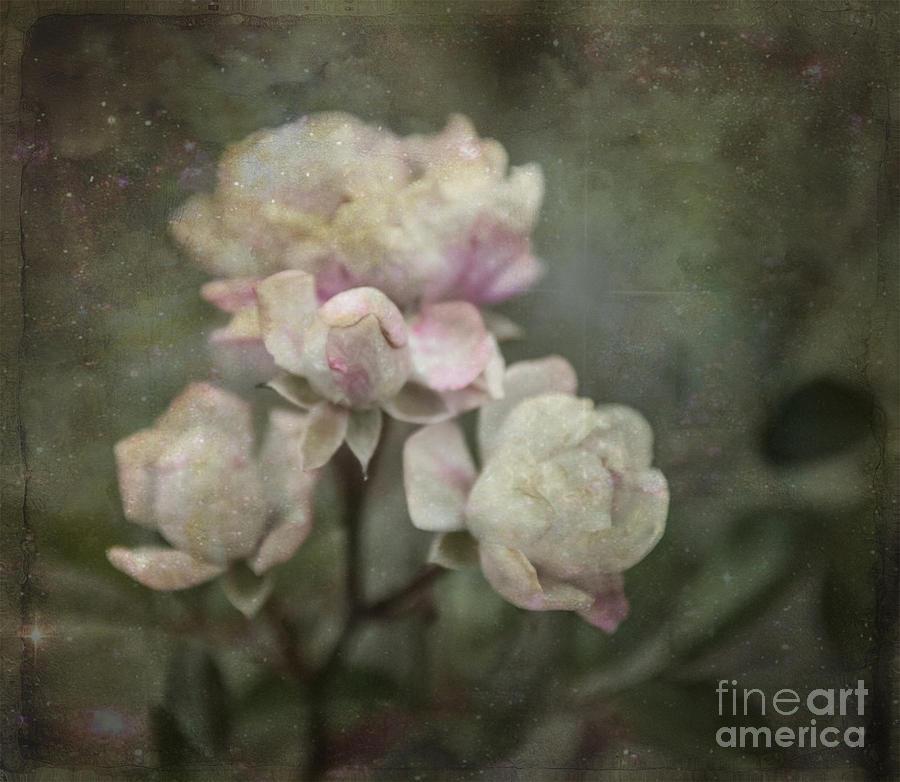 Of Old Roses by Terri Creasy