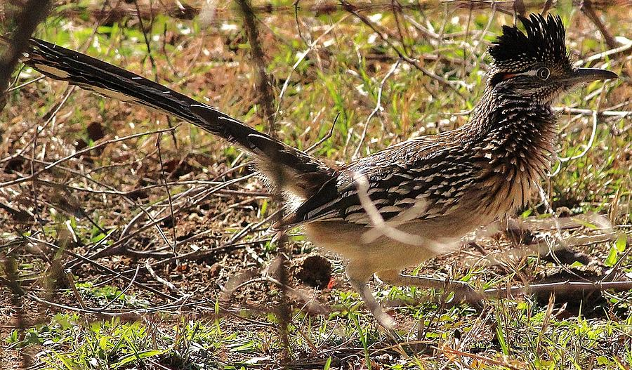 Nature Photograph - Off The Roadrunner by David Pauley