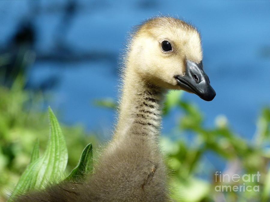 Gosling Photograph - Oh Hi by Jane Ford