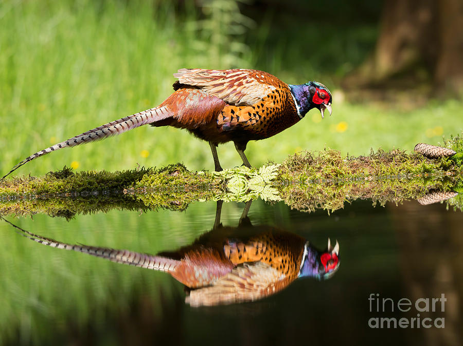 Common Pheasant Photograph - Oh My What A Handsome Pheasant by Louise Heusinkveld