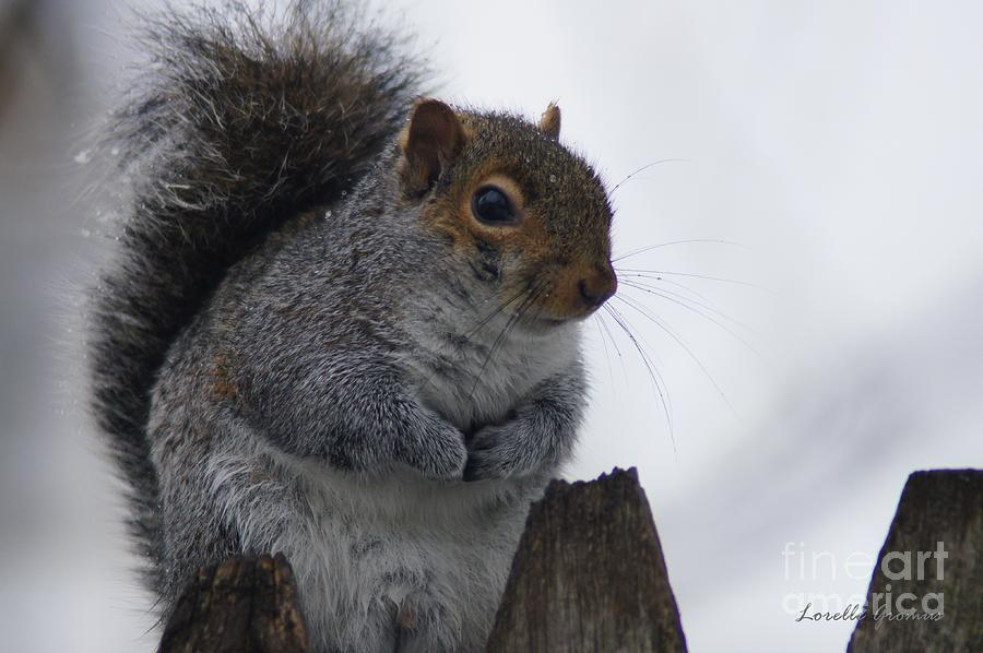 Squirrels Photograph - Oh So Cold by Lorelle Gromus