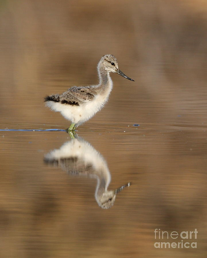Avocet Photograph - Oh So Sweet Avocet Chick by Ruth Jolly