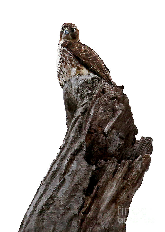 Red Tail Photograph - Oh Yeah You Blend By James Figielski by Paulinskill River Photography