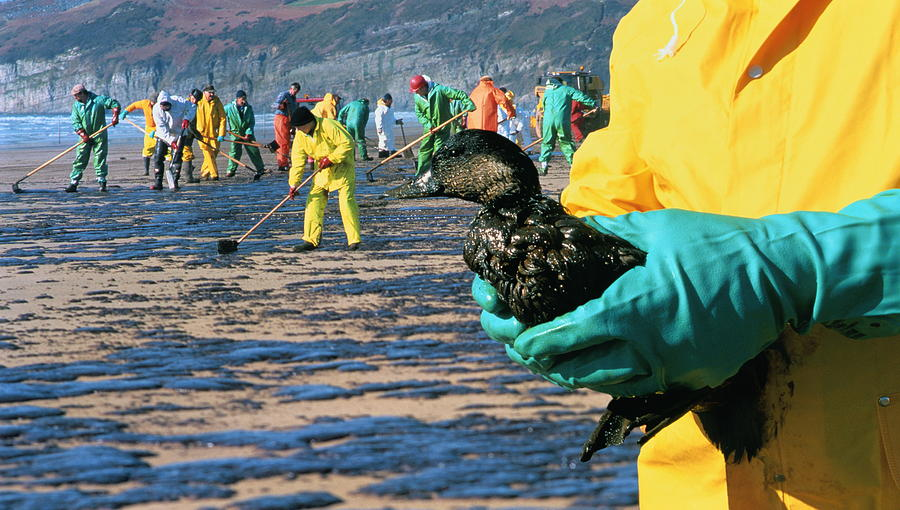 Oil Slick On Beach, Rescued Bird In Foreground, Wales (composite) Photograph by Ben Osborne