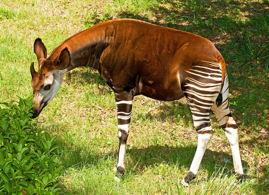 Nature Photograph - Okapi by Millard H. Sharp