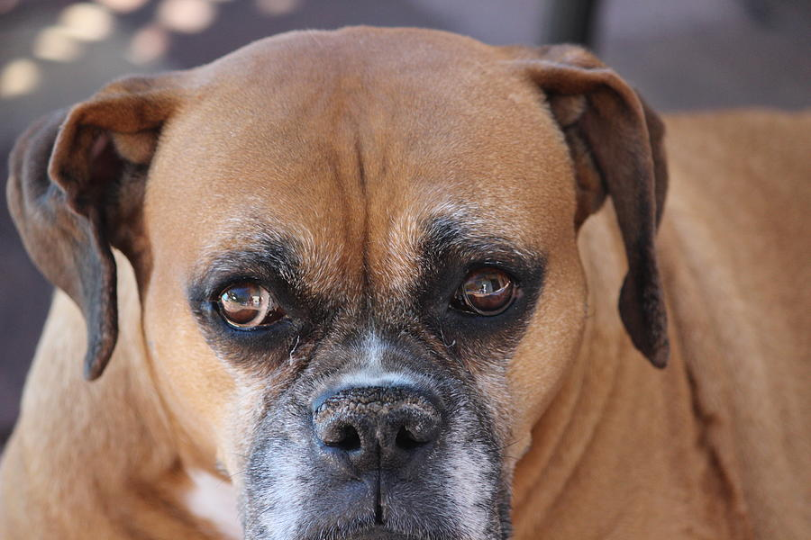 Dog Photograph - Old Boxer by John Greco