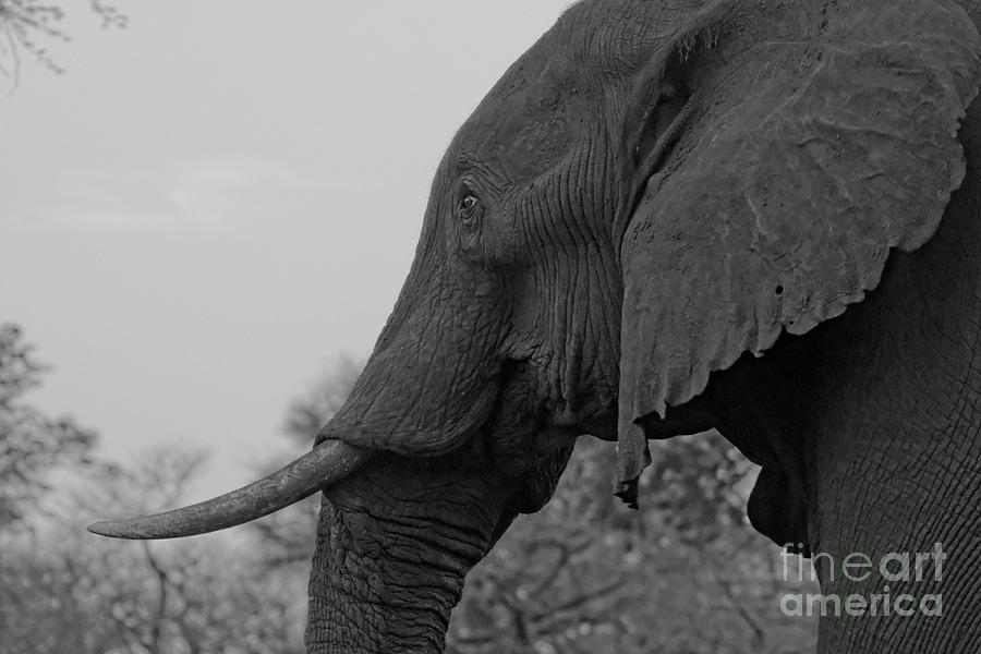 Old bull elephant by Mareko Marciniak