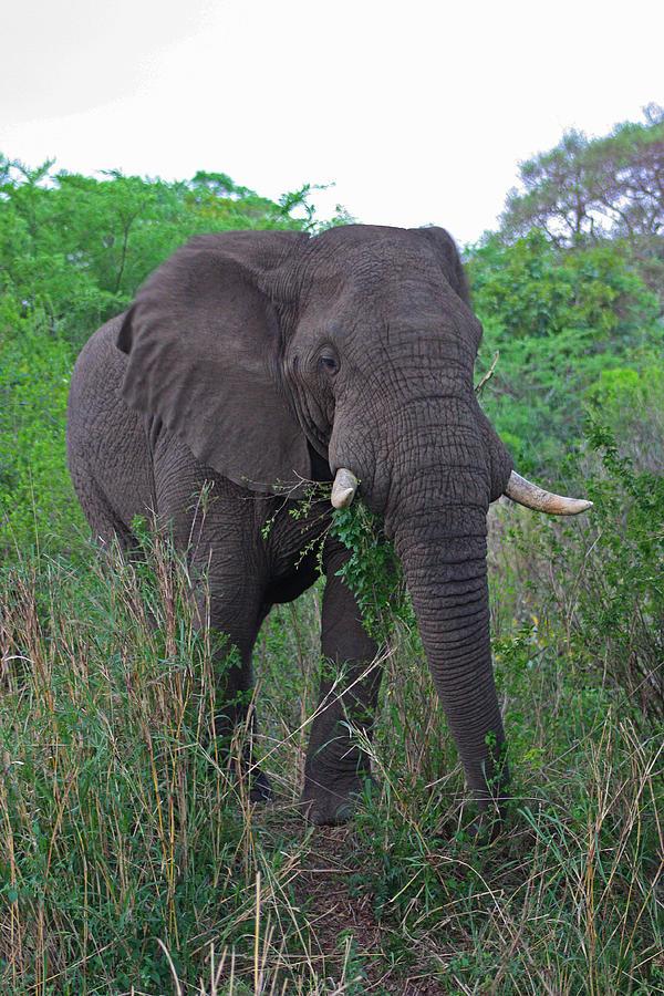 Elephant Photograph - Old Bull by Gerhardt Marais