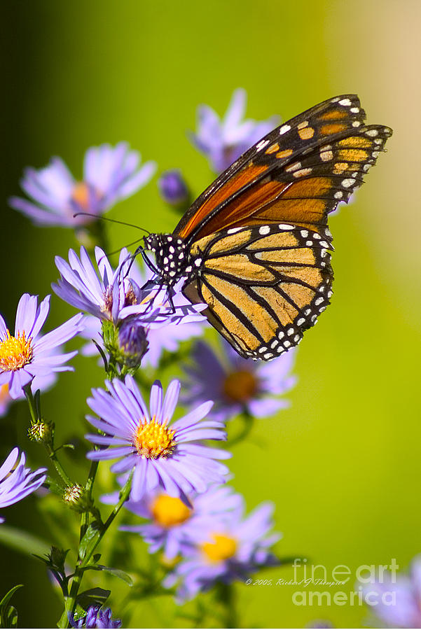 Old Butterfly On Aster Flower by Richard J Thompson