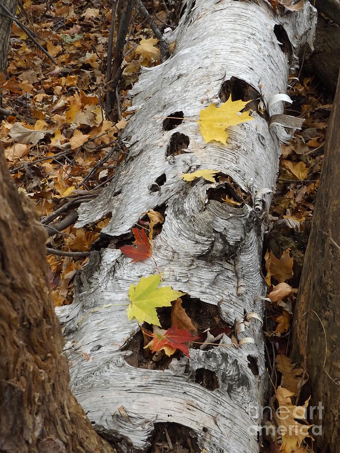 Old Fallen Birch Photograph