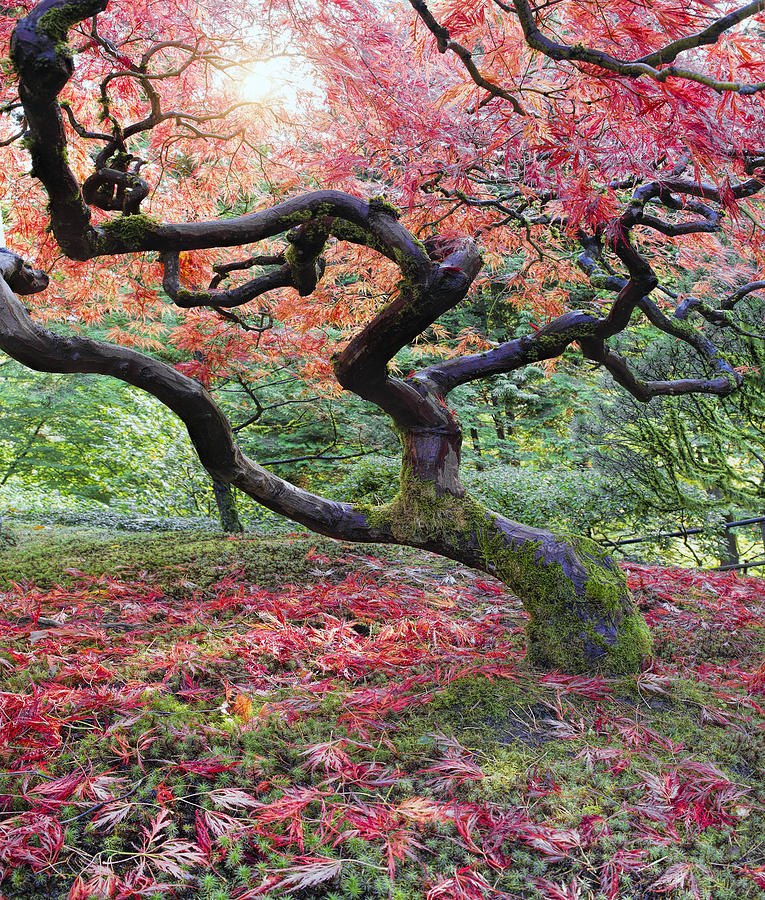 old japanese maple tree in fall photograph by david gn. Black Bedroom Furniture Sets. Home Design Ideas