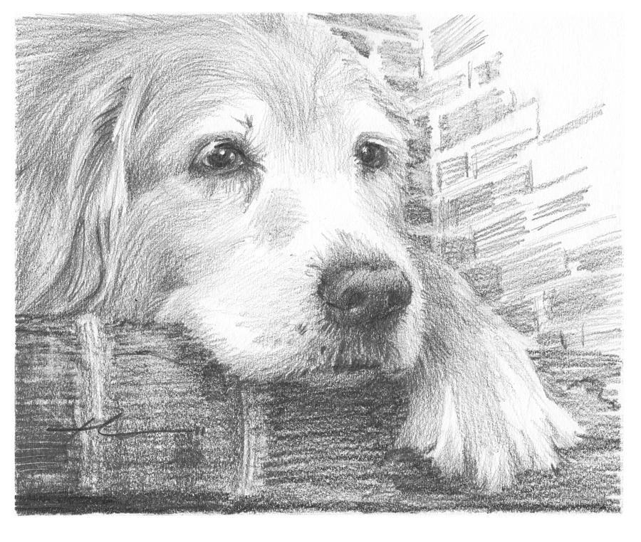 Old Labrador Dog Resting Pencil Portrait Drawing by Mike Theuer