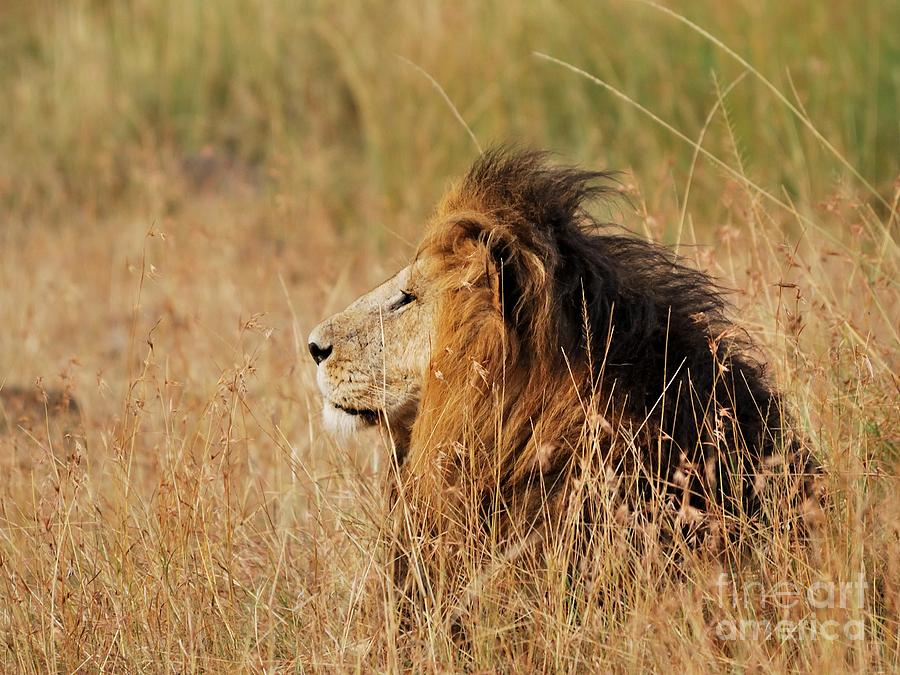 Masai Mara National Reserve Photograph - Old Lion With A Black Mane by Alan Clifford