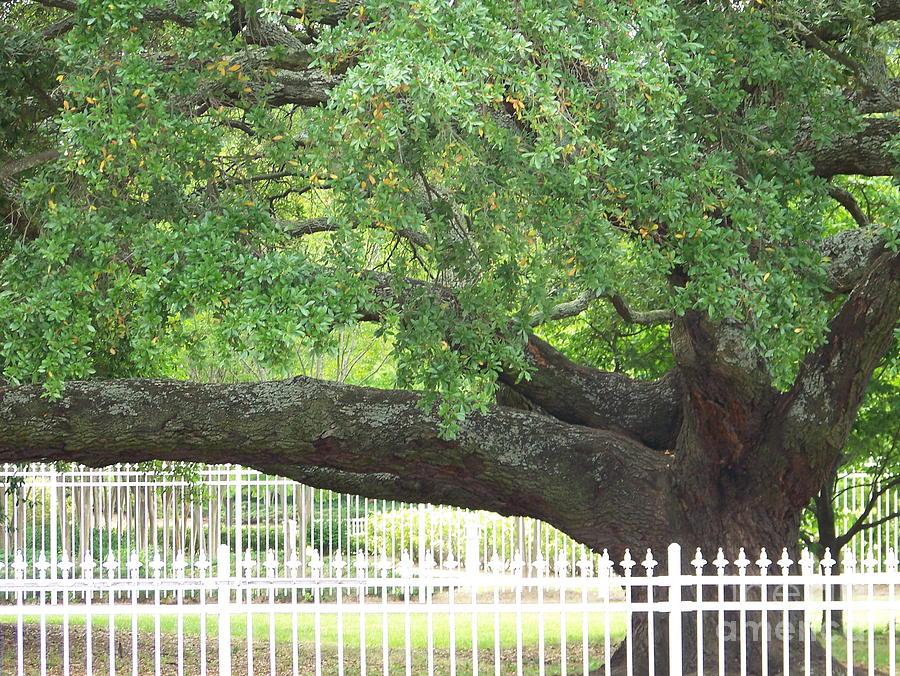 Oak Tree Photograph - Old Oak by Kevin Croitz