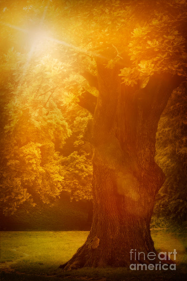 Background Photograph - Old Oak Tree by Mythja  Photography