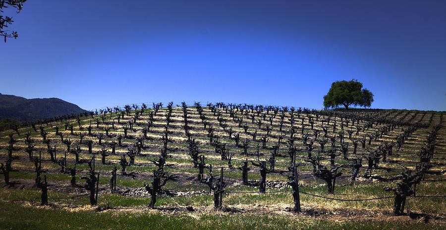 Healdsburg Photograph - Old Vines Panorama by Karen Stephenson