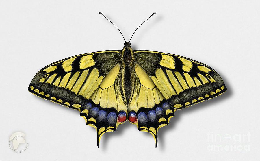 Old World Swallowtail - Papilio Machaon - Le Machaon - Grand Porte-queue - El Macaon - Ritariperhone Painting
