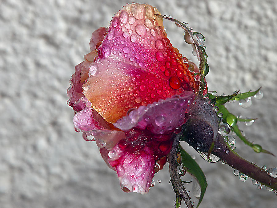 Roses Photograph - Olde English by Joe Schofield