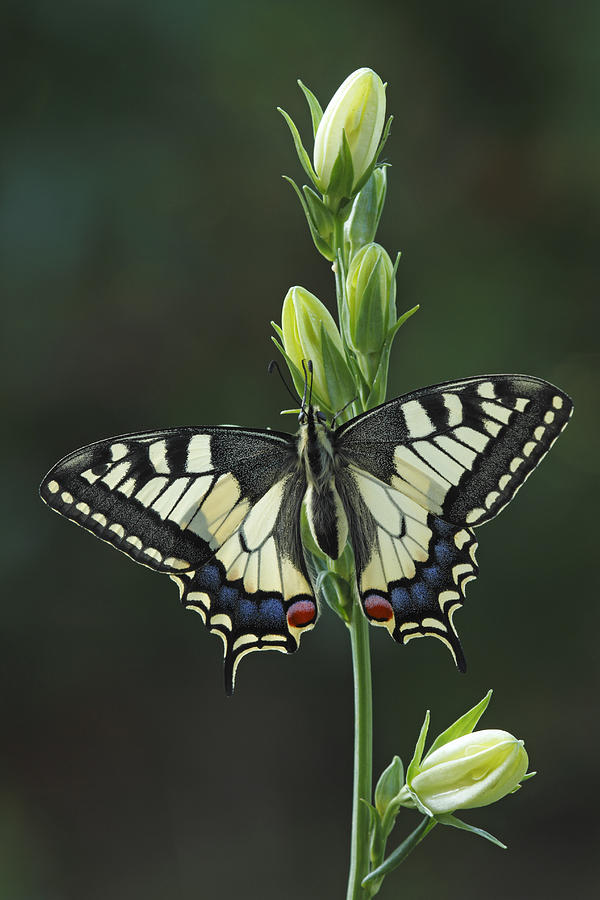 Oldworld Swallowtail Butterfly Photograph by Silvia Reiche
