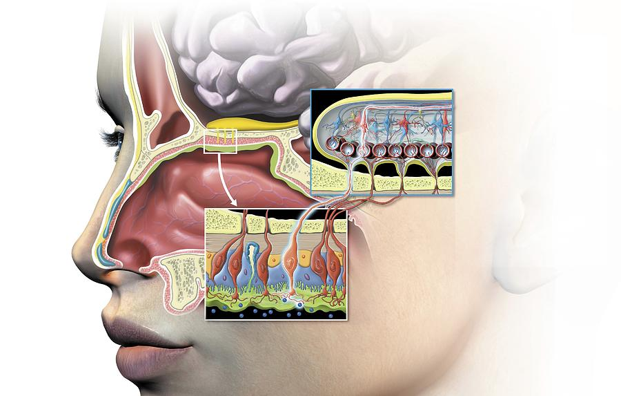 Olfactory Bulb Anatomy, Artwork Photograph by Science Photo Library