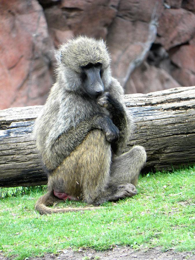 Monkey Photograph - Olive Baboon by Michael Caron