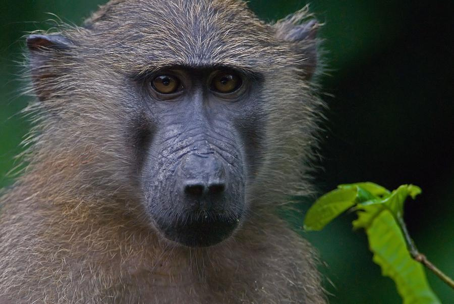 Olive Photograph - Olive Baboon by Stefan Carpenter