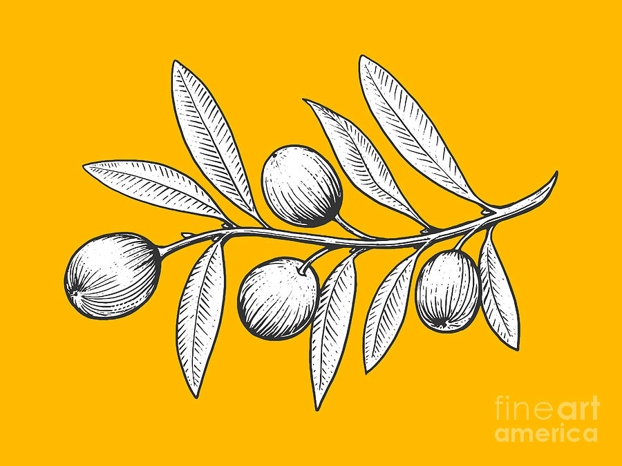 Engraving Digital Art - Olive Branch Engraving Style Vector by Alexander p