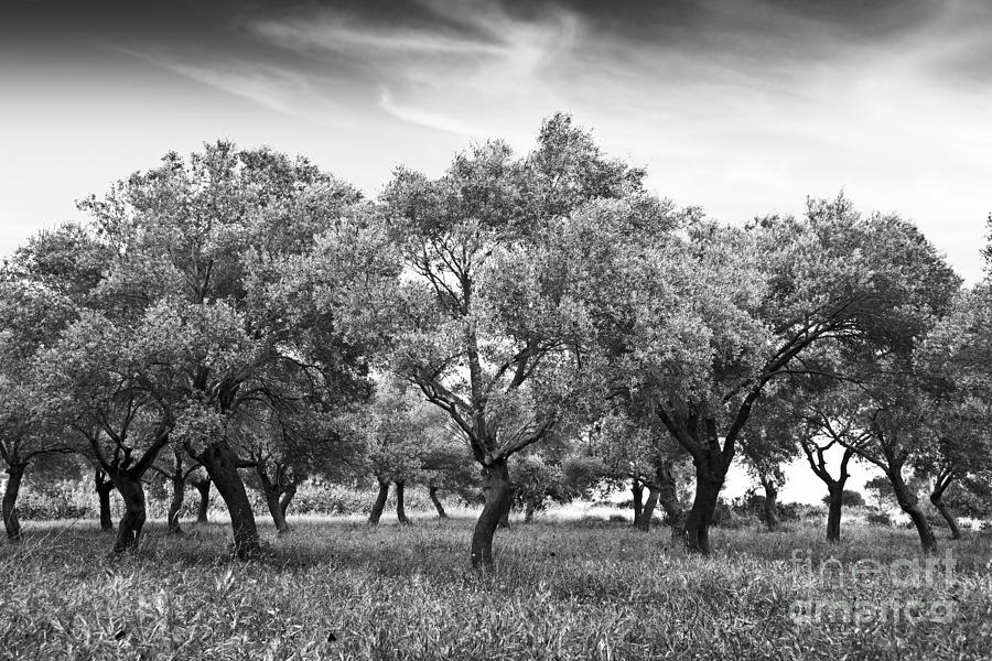 Olive Grove Photograph - Olive Grove by Delphimages Photo Creations